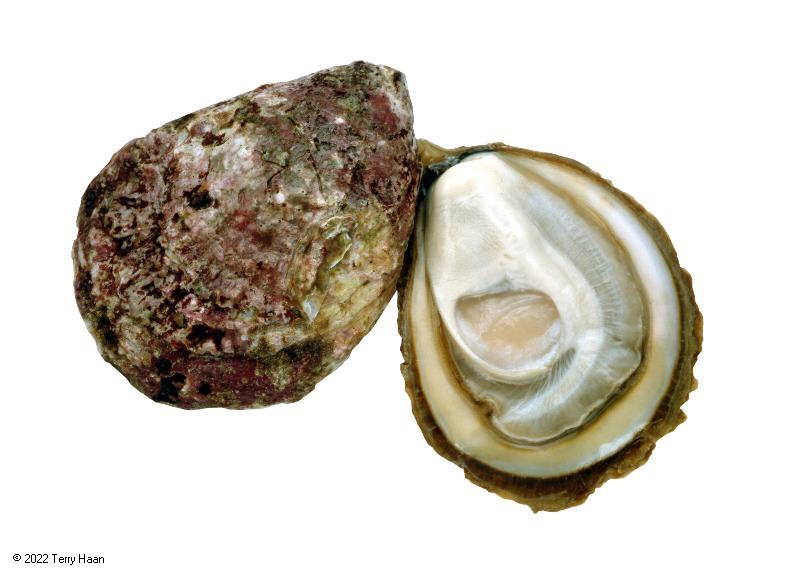 Species photo for dredge_oyster.jpg