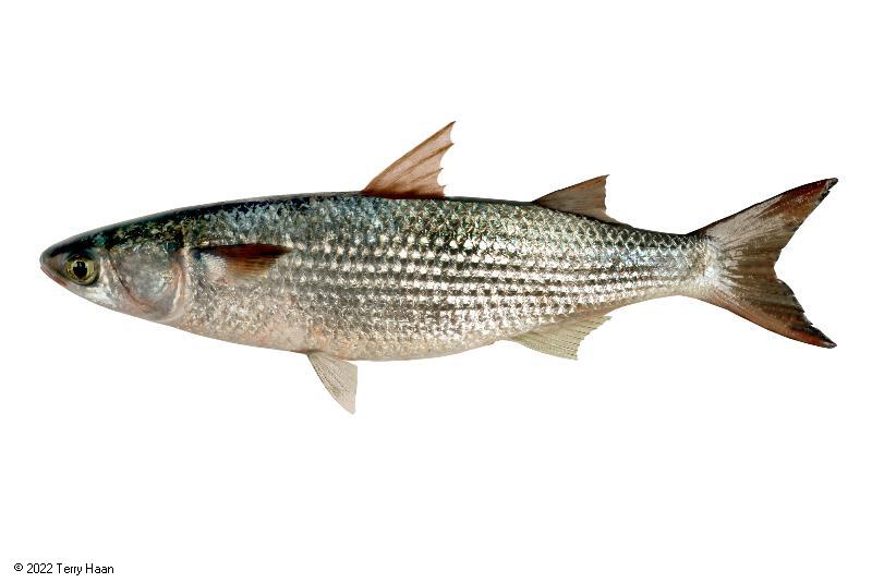 Image drawing for Grey Mullet (GMU)