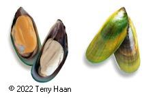 Image drawing for Green-Lipped Mussel (GLM)