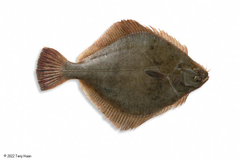 Image drawing for Sand Flounder (SFL)