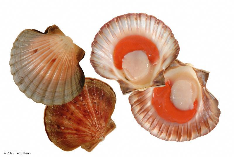 Image drawing for Scallop (SCA)