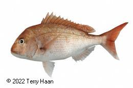 Species photo for Snapper (SNA)