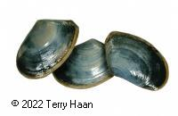 Image drawing for Toheroa (TOH)
