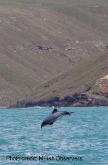 Hector dolphin leaping