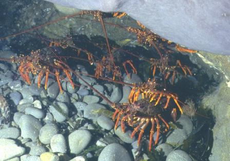 Group of Rock Lobster