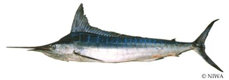 Striped Marlin (STM)